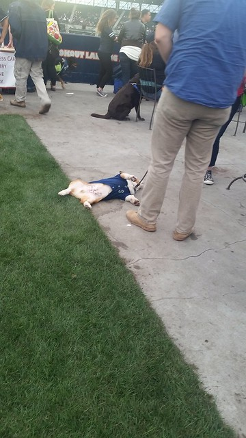 Bark at the Park Corgi Flop