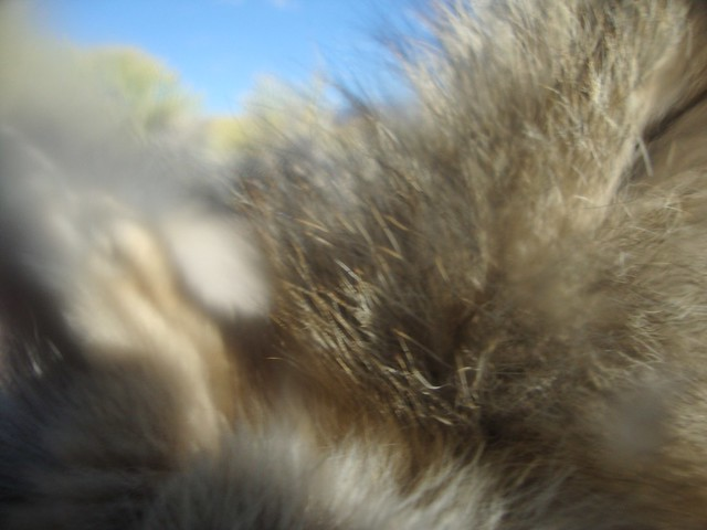 coyote close-up