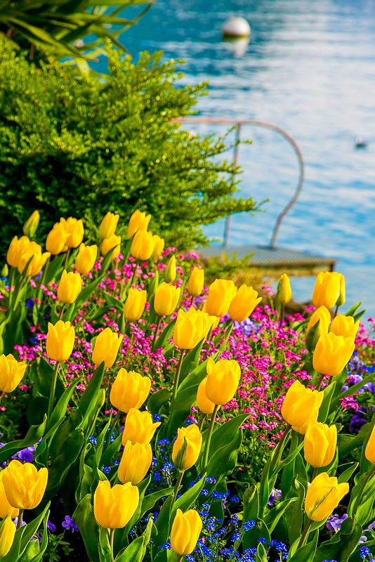 flowers, tulips, Lake Geneva, the Alps