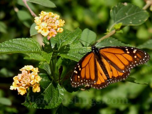 monarch lantana 1