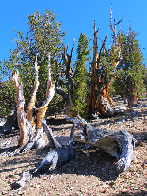 IMG_0274 Methuselah Walk, Ancient Bristlecone Pine Forest