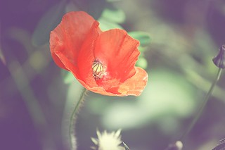 Poppy in the sunlight | by Claire Fun