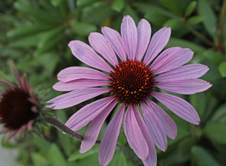 cone flower | by joybidge