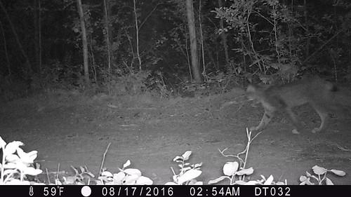 Kettle Lynx 2016 Photo WSU and Working for Wildlife Initiative