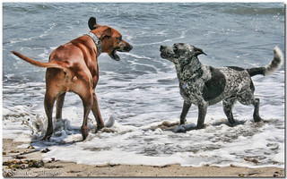 It's a Standoff! | by MyRidgebacks - Sharon C Johnson