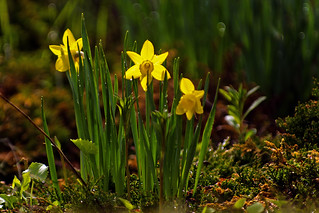 Daffodil Patch | by DCZwick