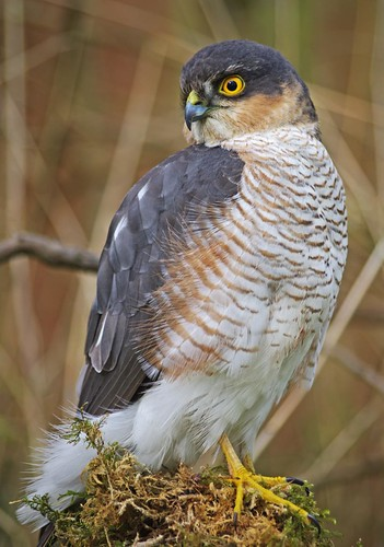 Sparrowhawk visits bird feeding station. | by adriang410