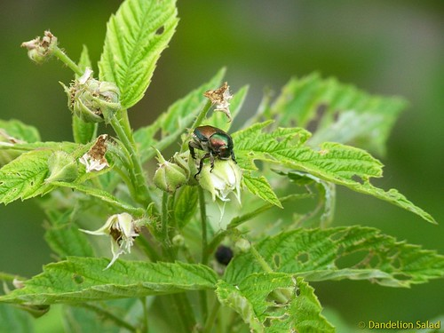 Attack of the Japanese Beetle! | by Dandelion Salad