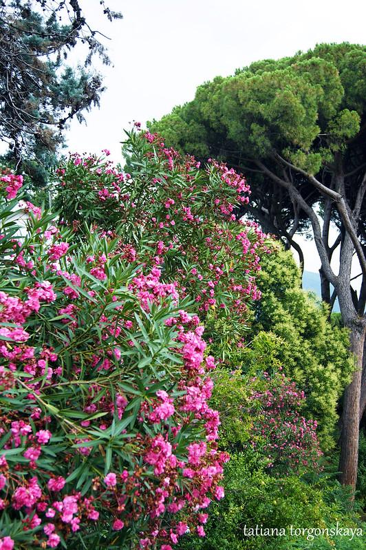 Пейзаж с цветущим олеандром