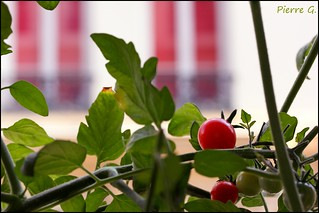 Tomatoes also grow in town | by pierre-photographie