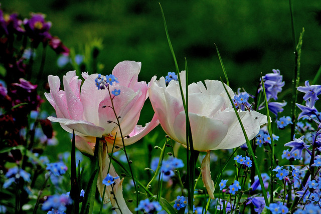 tulips and forget-me-nots