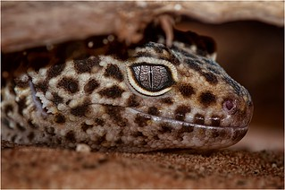 Leopard gecko | by Supervliegzus