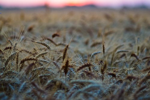 Wheaty sunrise | by razor2277