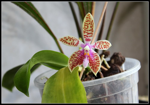 Phalaenopsis corningiana (2)