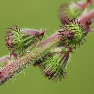 Aigremoine eupatoire (Agrimonia eupatoria)