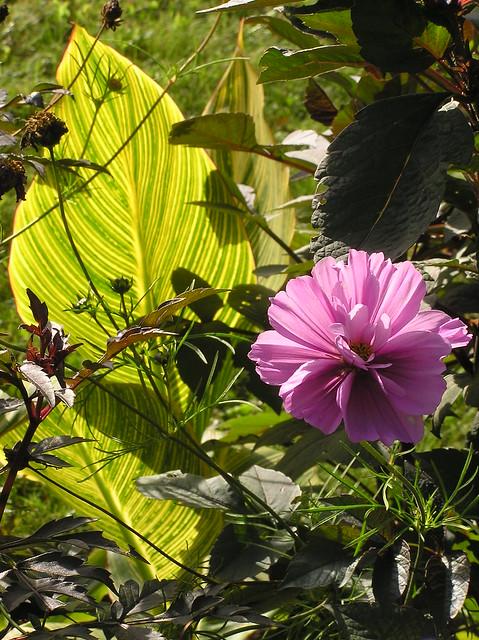 Canna 'Striata'  & Cosmos 'Frizzy Pink'