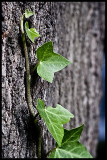 175/366: Ivy | by jake.hester