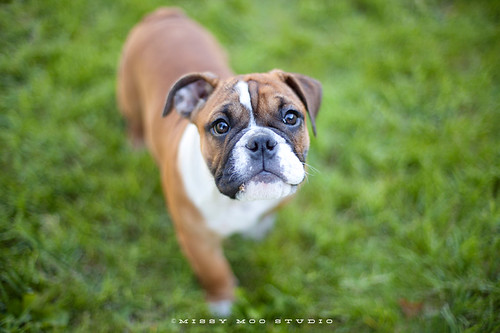 Etta the Bulldog Puppy | by jsaraceno