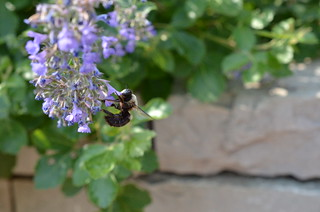 Flowers and Carpenter Bee | by Michael Kappel