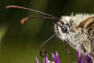Portrait of a Marbled White | by Oliver C Wright