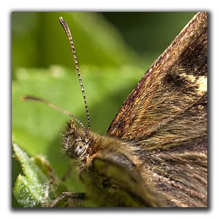 Speckled Wood Butterfly Close Up | by Roland Bogush