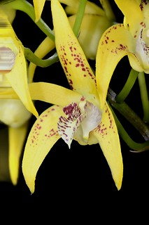 Dendrobium Avrils Gold | by species orchids