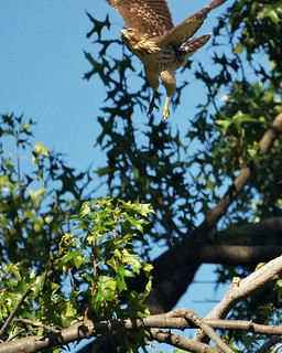 Broad-Winged Hawk takeoff | by Ed Gaillard