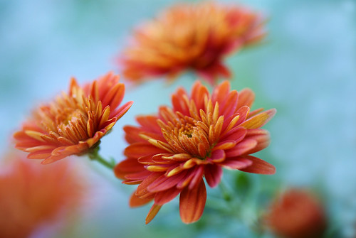 Mums | by j man.