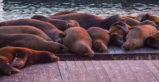 Sleeping sea lions at San Francisco's Pier 39