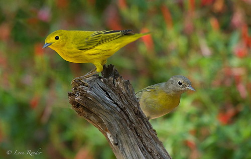 Yellow Warbler and Nashville Warbler (Explore #44) | by Texas.lorarend:)
