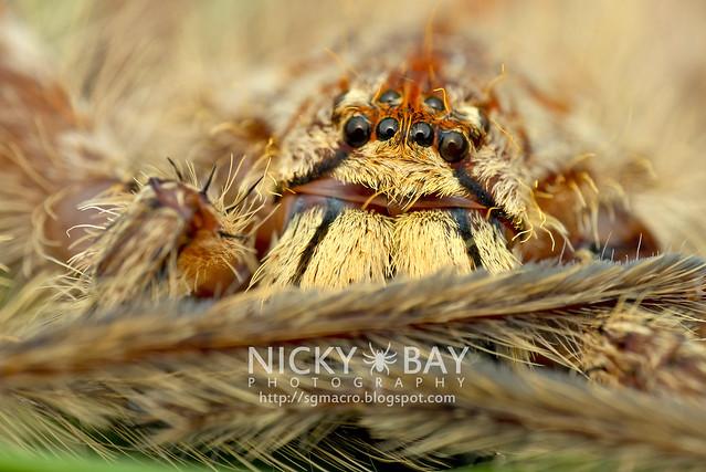 Huntsman Spider (Heteropoda sp.) - DSC_2690