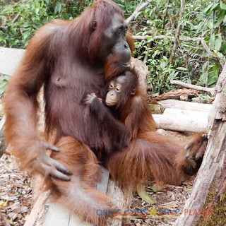 Orangutan World, Tanjung Puting Borneo Adventure-257.jpg | by OURAWESOMEPLANET: PHILS #1 FOOD AND TRAVEL BLOG