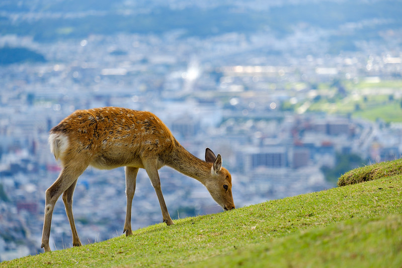 Against the backdrop of the city of Nara