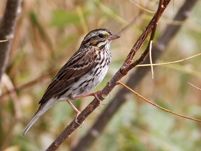 Savannah Sparrow 04-20160925