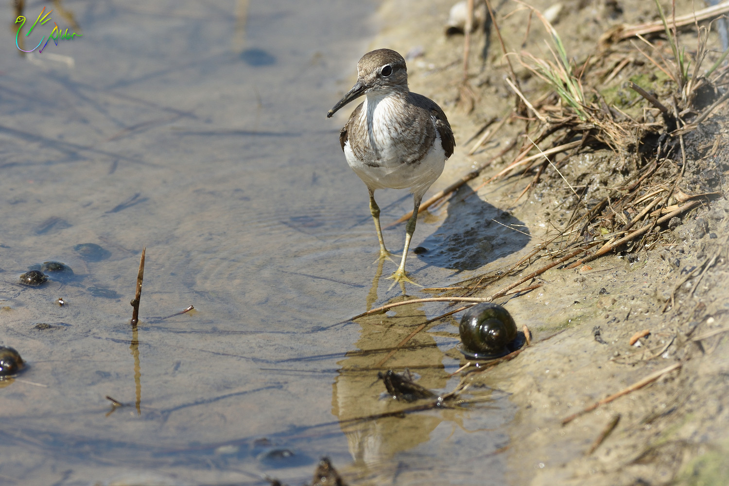 Common_Sandpiper_8866