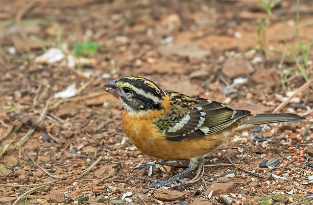 Black-Headed-Grosbeak-8-7D2-081916