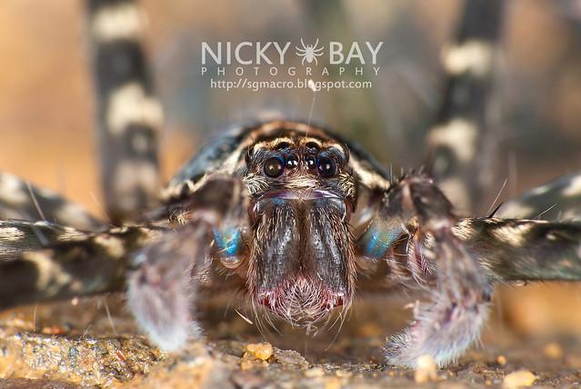 Huntsman Spider (Heteropoda sp.) - DSC_5995