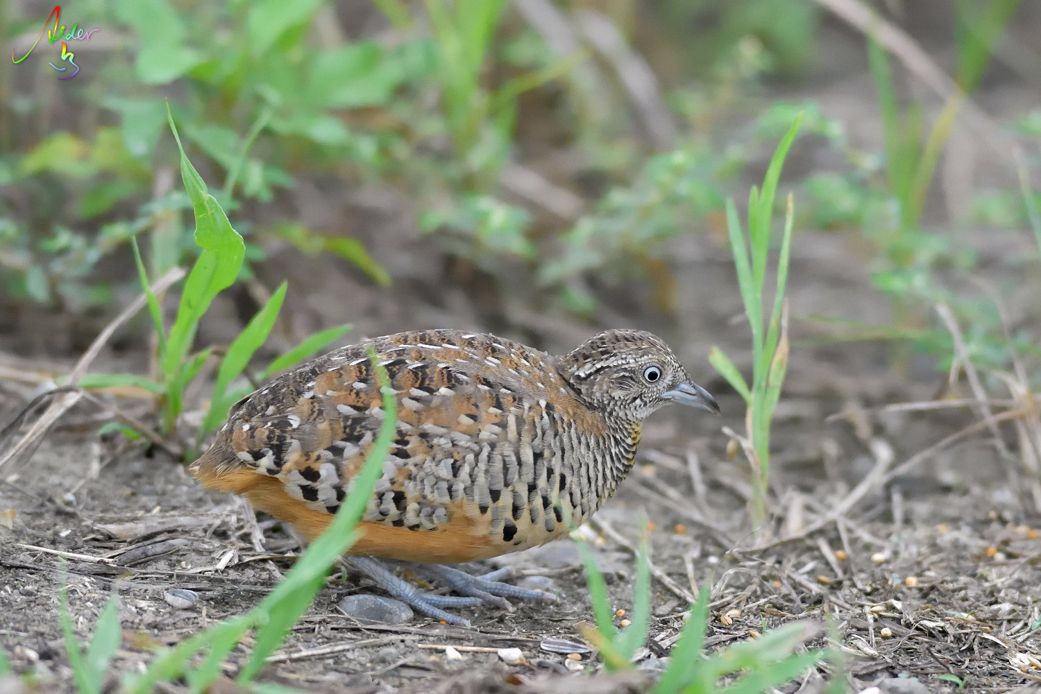 Barred_Buttonquail_1219