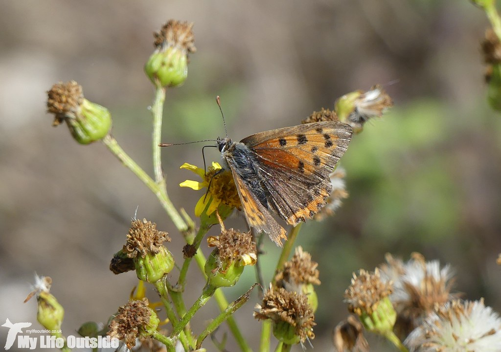 P1040642 - Small Copper, Dungeness