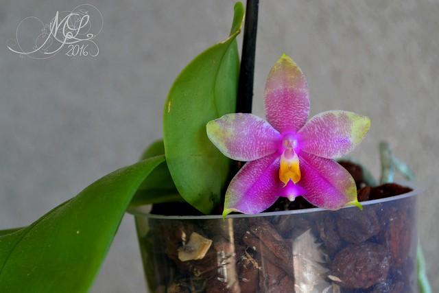 Phalaenopsis Hannover Passion x bellina 29075629742_b389bc6843_z