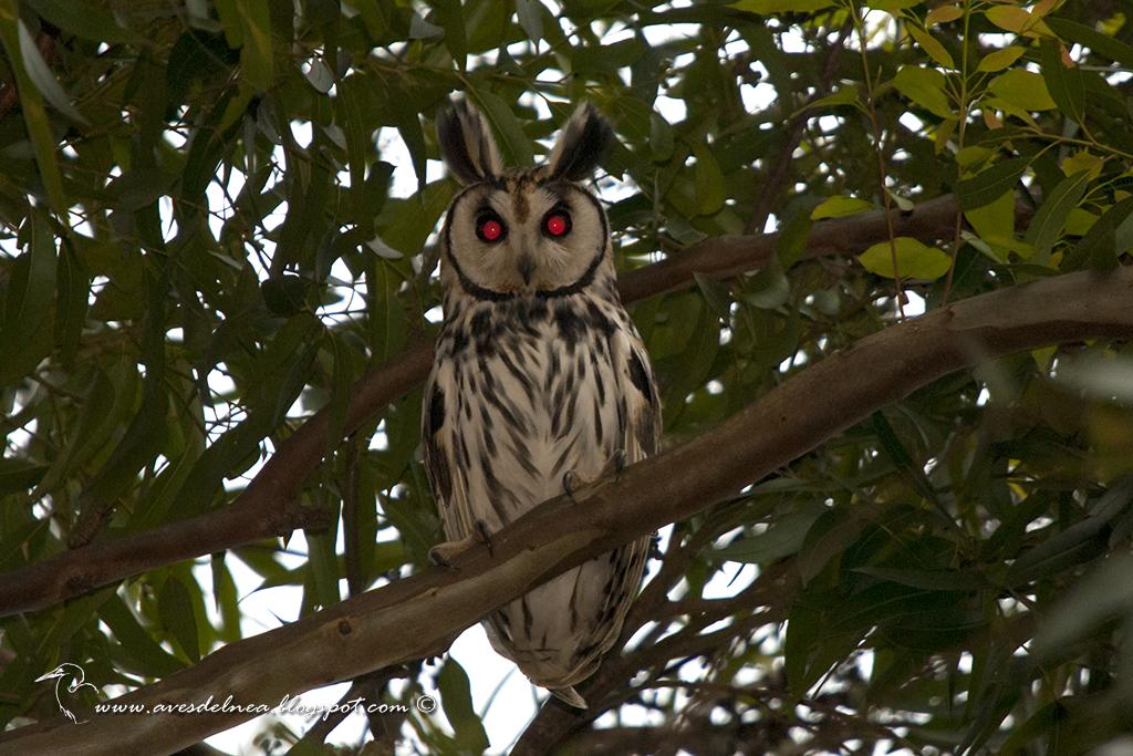 Lechuzón orejudo (Striped Owl) Pseudoscops clamator