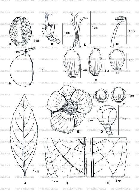 Camellia quangcuongii -2