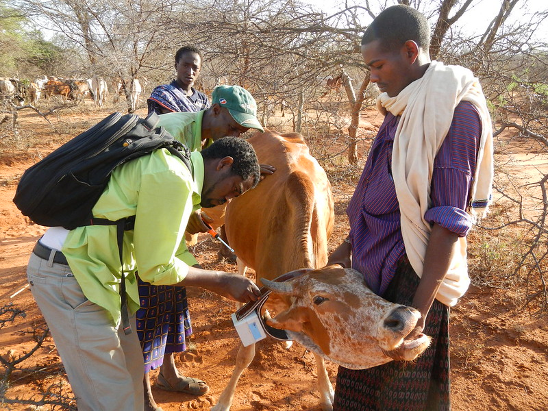 Field team deploying a GPS collar on a cow in Siqu village of Borana.