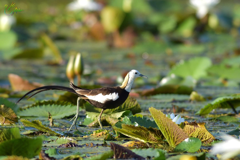 Pheasant-tailed_Jacana_2971