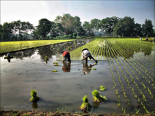 planting rice | by arnistm