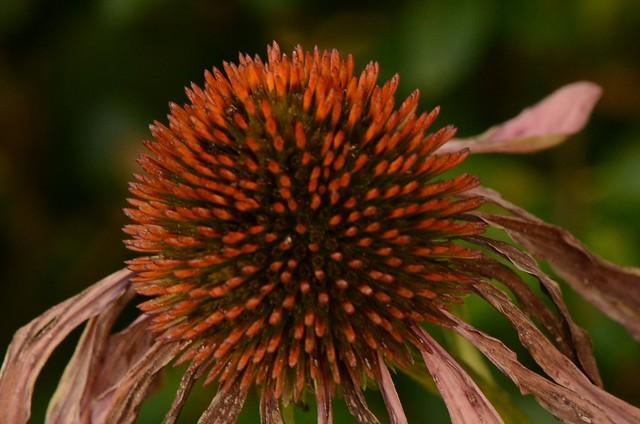 Echinacea 20.09 (2)