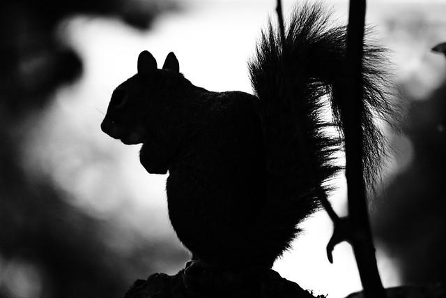Squirrel silhouette