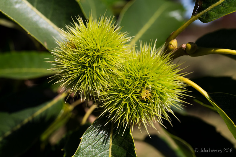 This year's sweet chestnuts are coming along nicely