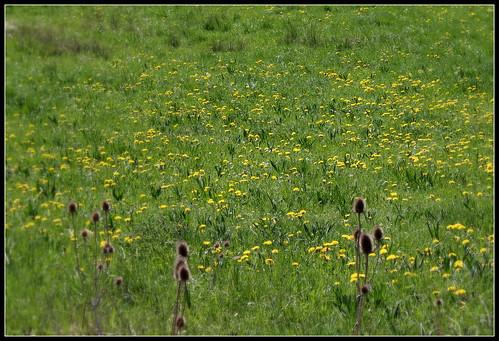 Prairie : pissenlits - myosotis