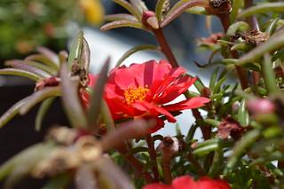 DSC_0091 Portulaca grandiflora ポーチュラカ 松葉牡丹